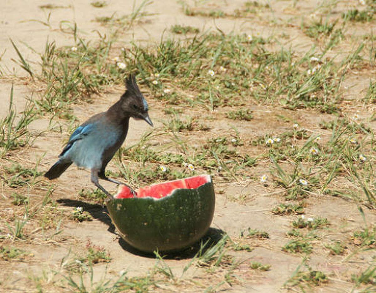 Wild bird swoops in for a taste.