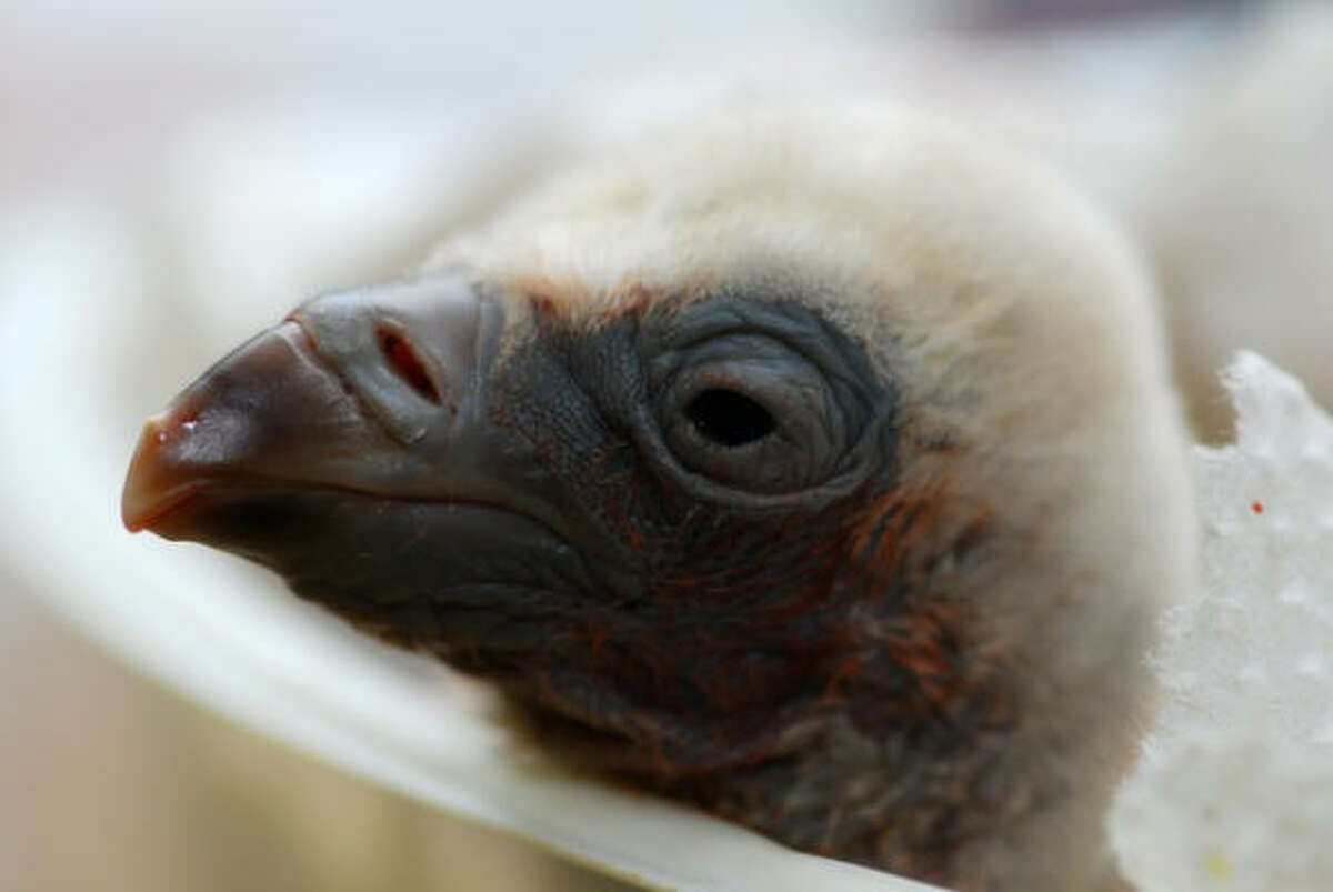 Researchers at the Jerusalem Biblical Zoo are trying to reintroduce vultures to Israel. Less than a decade ago there were about 400 in the country; today there are about 240.