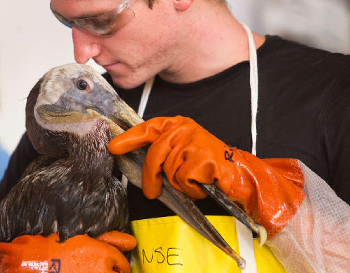 David Lane of Baton Rouge, Louisiana, carries a Brown Pelican to a drying area after cleaning the oiled bird at the Fort Jackson Bird Rehabilitation Center in Buras, Louisiana.