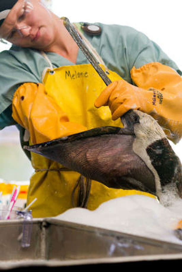 Melanie Reed of Baton Rouge, Louisiana wipes the inside of the pouch of a Brown Pelican during cleaning. Photo: Smiley N. Pool, Chronicle