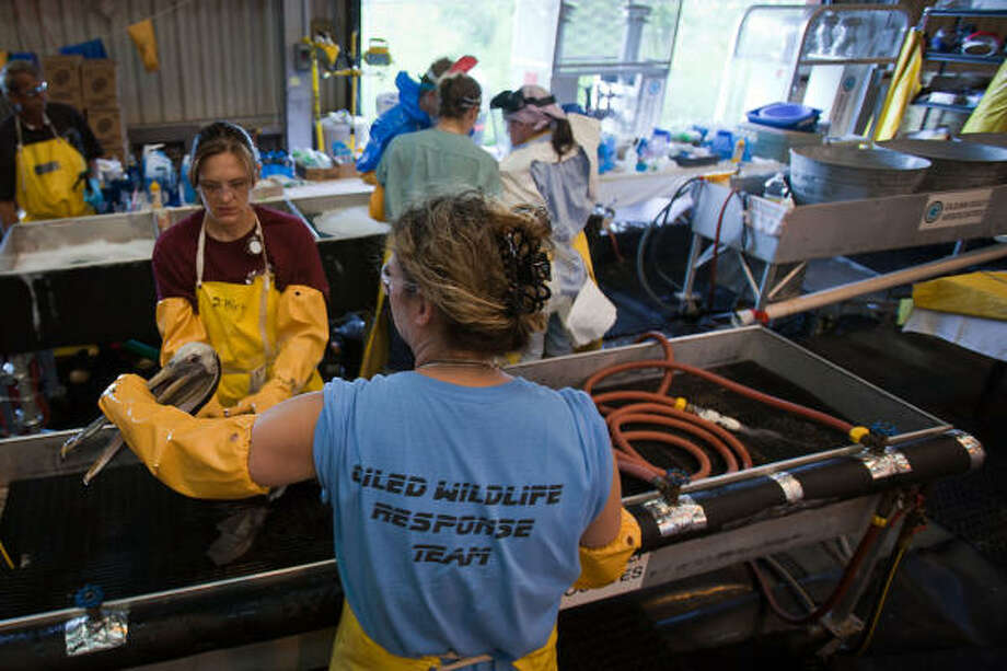 Workers clean oiled Brown Pelicans at the Fort Jackson Bird Rehabilitation Center in Buras, Louisiana. Photo: Smiley N. Pool, Chronicle