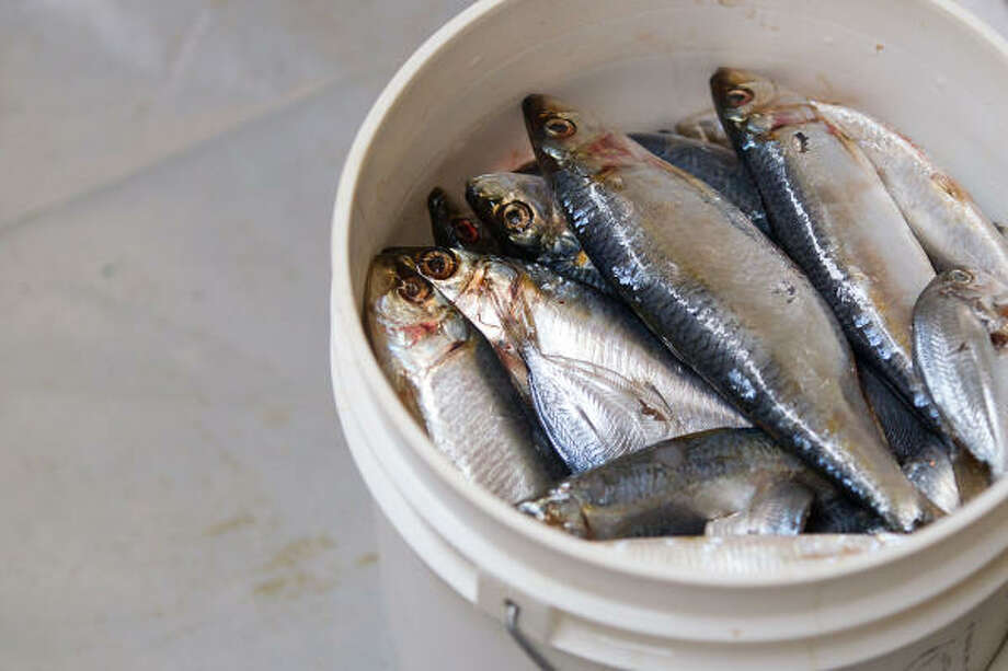 A bucket of fish sits ready for the feeding of oiled birds. Photo: Smiley N. Pool, Chronicle