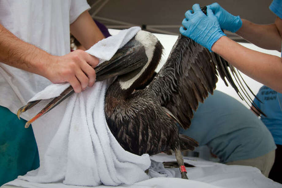 Workers evaluate a Brown Pelican after cleaning the oiled bird. Photo: Smiley N. Pool :, Chronicle