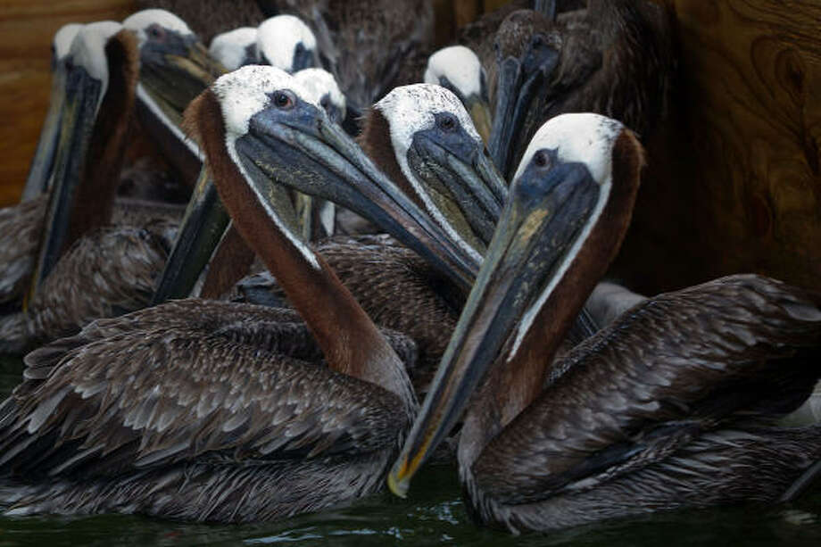 Brown Pelicans in a holding pen after cleaning at the Fort Jackson Bird Rehabilitation Center. Photo: Smiley N. Pool, Chronicle