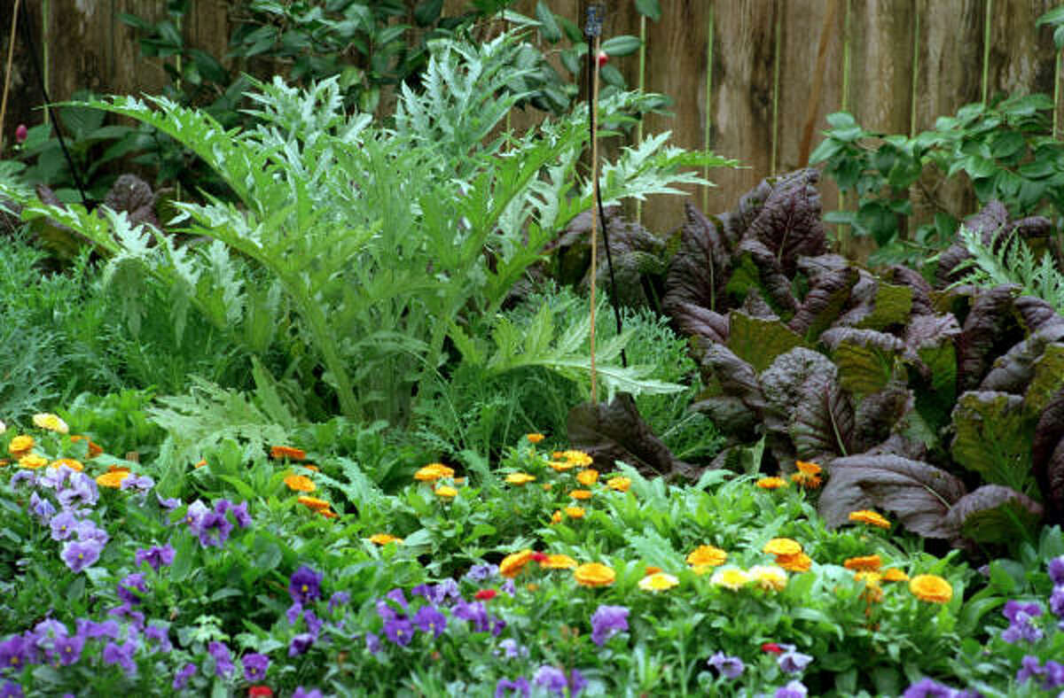Cardoon, rear left, and 'Red Giant' mustard, rear right, happily share a garden with cool-season annuals.