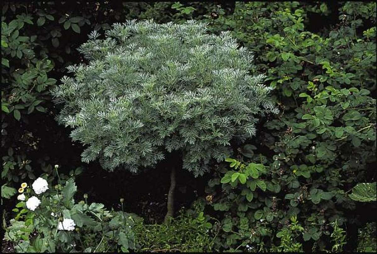 'Powis Castle' artemisia is a low-maintenance perennial for sun. It can be trained as a groundcover or as a small 'tree.'
