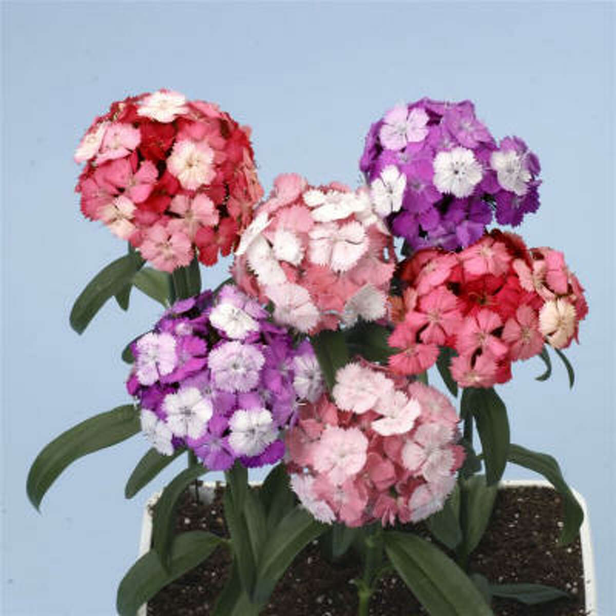The fragrant, domed clusters of the 'Noverna Clown' dianthus open white then change to pink, purple or salmon creating an unusual color pattern on each flower umbrel.