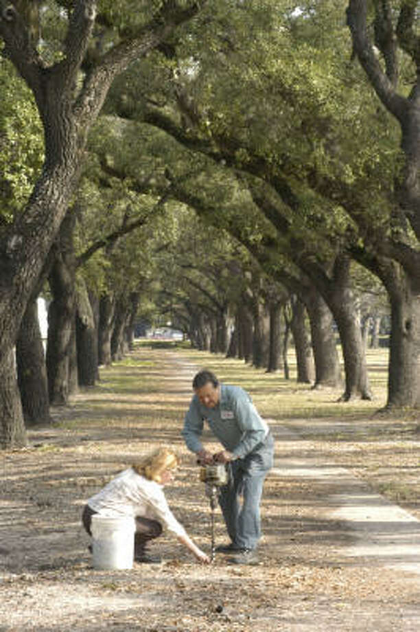 Plant database: Live oak, Quercus virginiana Story: Top 10 trees to survive hurricanes Photo: E. Joseph Deering, Chronicle