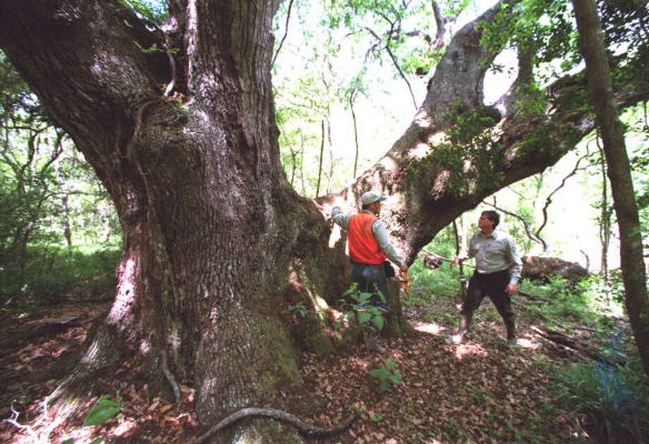 Plant database: Live oak, Quercus virginianaStory: Top 10 trees to survive hurricanes Photo: E. Joseph Deering, Chronicle