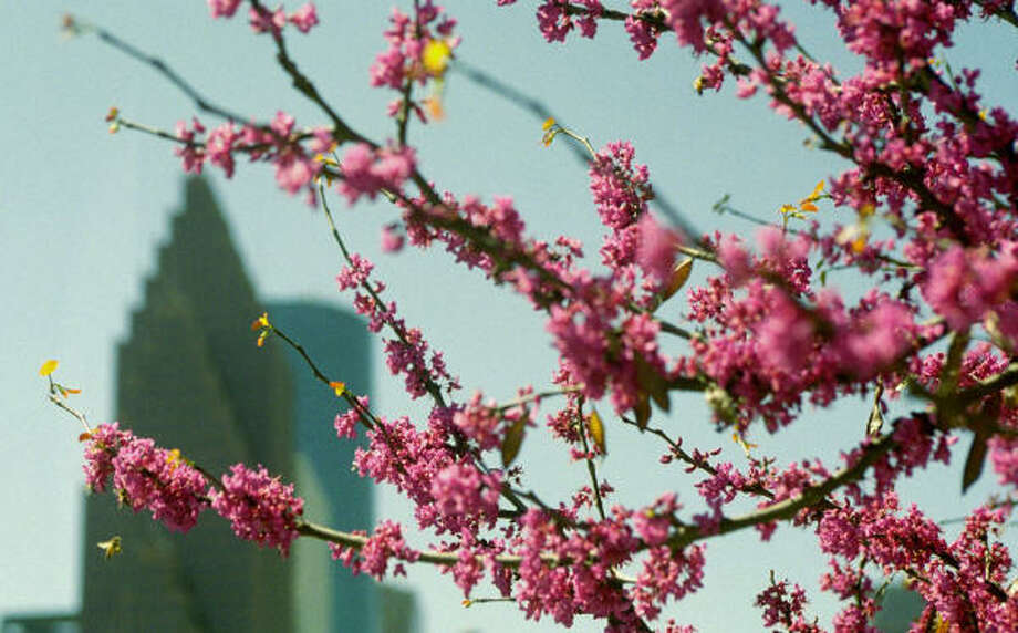 Plant database: Redbud, Cercis canadensisStory: Top 10 trees to survive hurricanes Photo: Carlos Antonio Rios, Chronicle