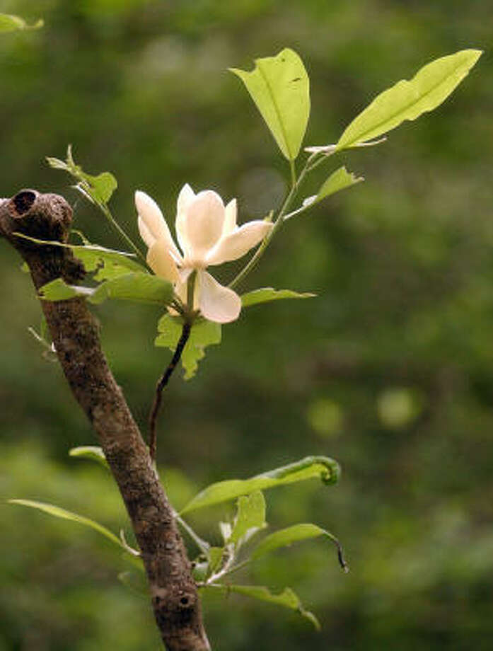 Plant database: Southern magnolia, magnolia grandiflora Story: Top 10 trees to survive hurricanes Photo: Scott Eslinger, For The Chronicle