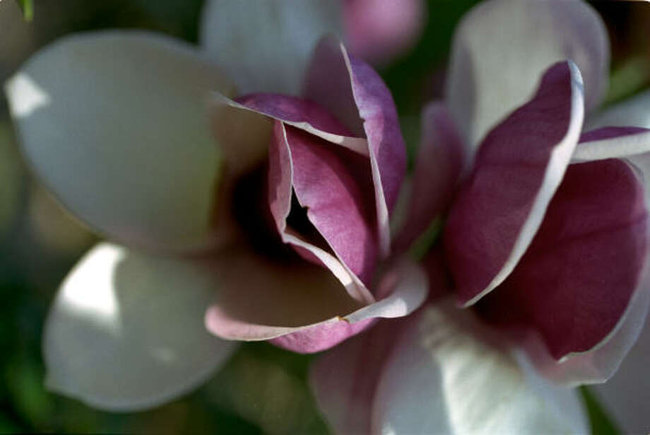 Plant database: Saucer magnolia, Japanese magnolia, tulip tree magnolia x soulangeanaStory: Top 10 trees to survive hurricanes Photo: John Everett, Chronicle