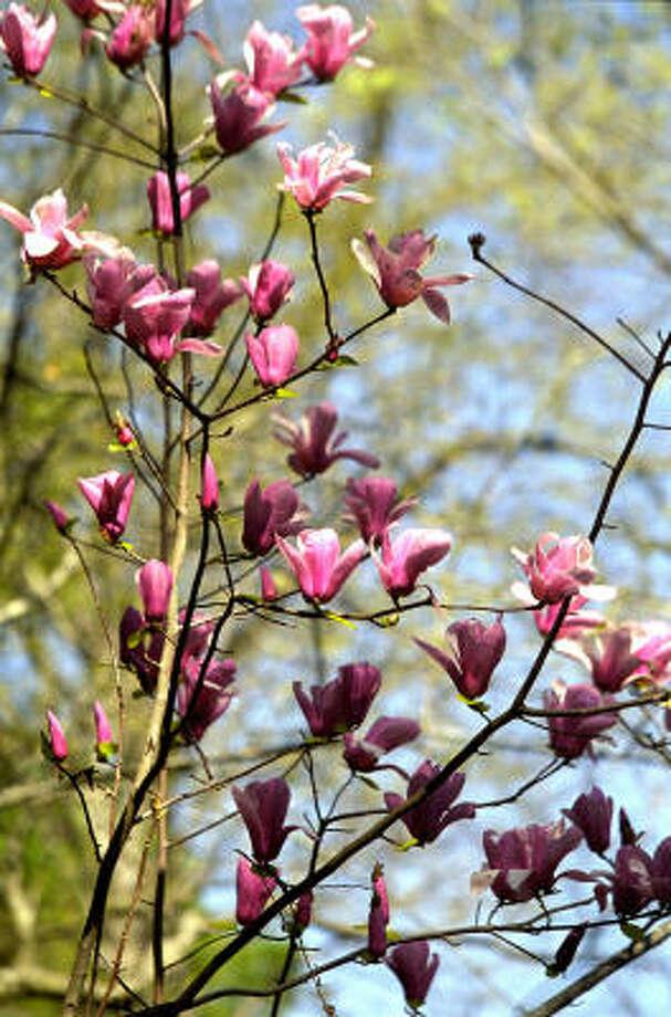 Plant database: Saucer magnolia, Japanese magnolia, tulip tree magnolia x soulangeanaStory: Top 10 trees to survive hurricanes Photo: John Everett, Chronicle