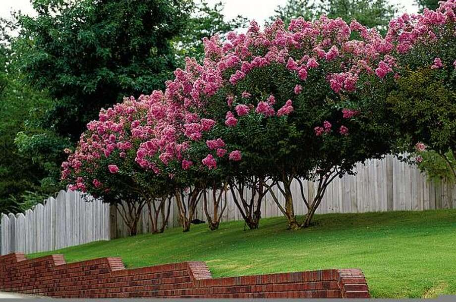 Plant database: Crape myrtle Lagerstroemia indicaStory: Top 10 trees to survive hurricanes Photo: VAN CHAPLIN, Mct