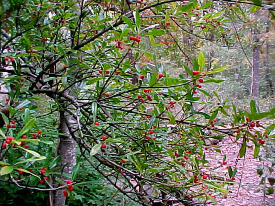 Plant database: Dahoon holly Ilex cassineStory: Top 10 trees to survive hurricanes Photo: Pat Marks, Houston Arboretum & Nature Center