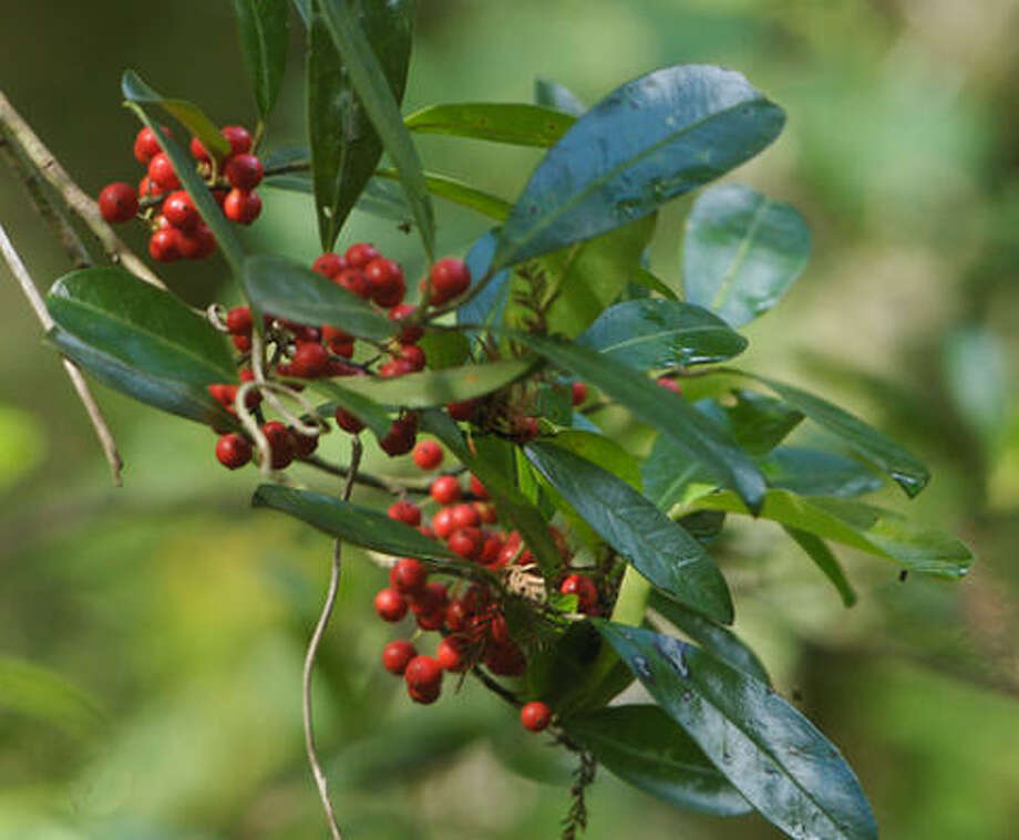 Plant database: Dahoon holly Ilex cassine Story: Top 10 trees to survive hurricanes Photo: Leppyone, Flickr.com
