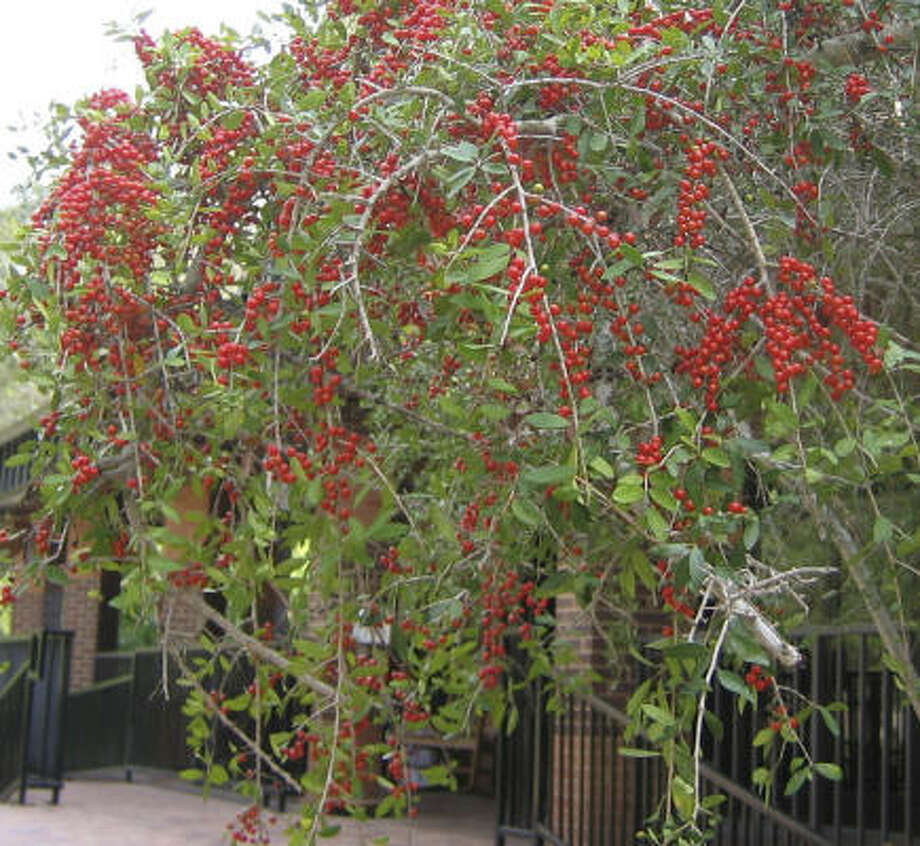 Plant database: Yaupon holly Ilex vomitoriaStory: Top 10 trees to survive hurricanes Photo: BRENDA BEUST SMITH, For The Chronicle