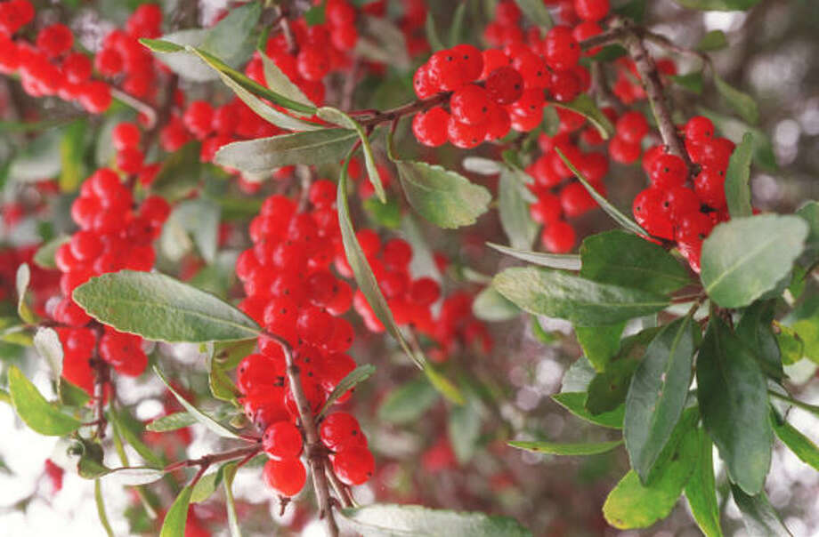 Plant database: Yaupon holly Ilex vomitoria Story: Top 10 trees to survive hurricanes Photo: E. Joseph Deering, Chronicle