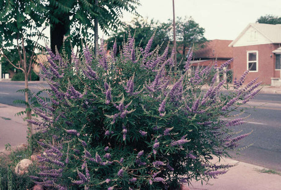 Plant database: Vitex or chaste tree Vitex agnus castus Story: Top 10 trees to survive hurricanes Photo: BRENDA BEUST SMITH, For The Chronicle