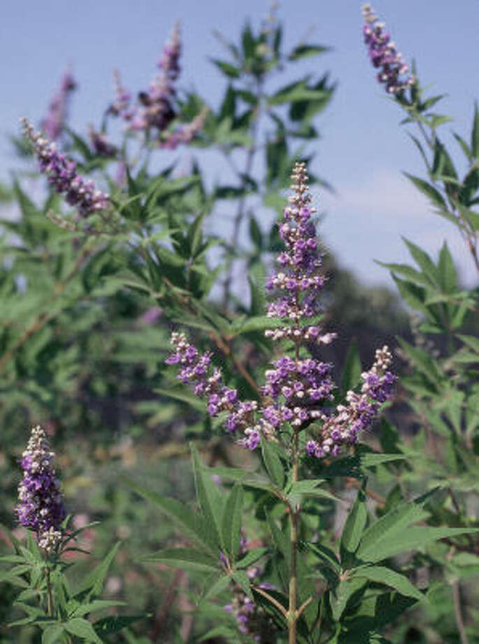 Plant database: Vitex or chaste tree Vitex agnus castusStory: Top 10 trees to survive hurricanes Photo: BRENDA BEUST SMITH, For The Chronicle