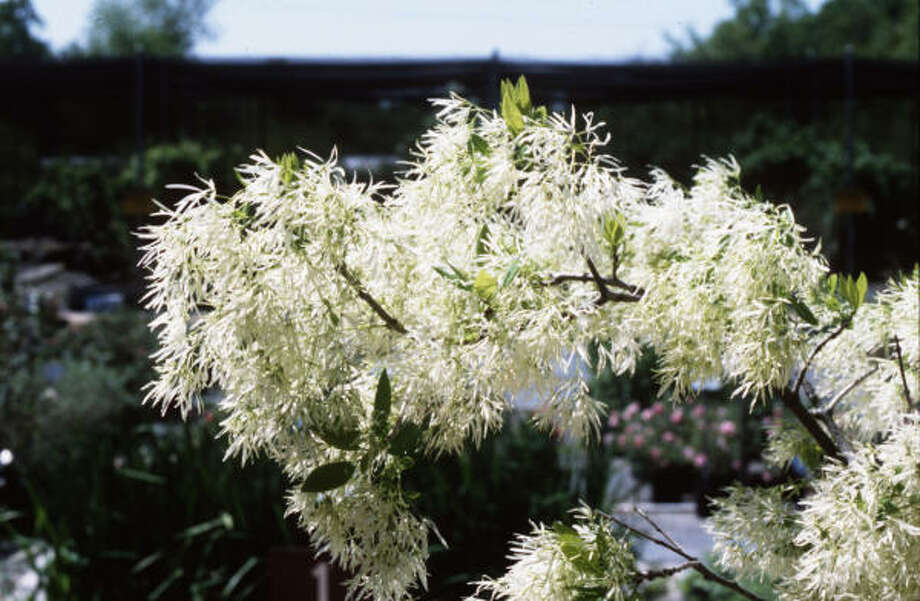 Plant database: Native fringe tree Chionanthus virginicusStory: Top 10 trees to survive hurricanes Photo: Treesearch Farms