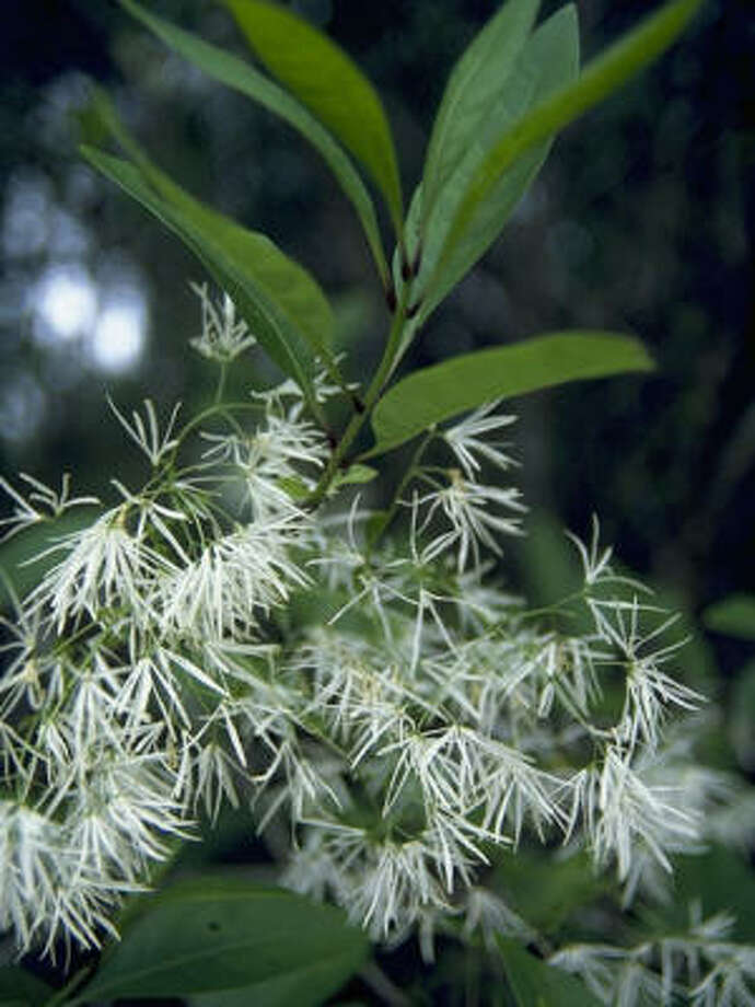 Plant database: Native fringe tree Chionanthus virginicus Story: Top 10 trees to survive hurricanes Photo: Mrs. W.d. Bransford, Lady Bird Johnson Wildflower Center