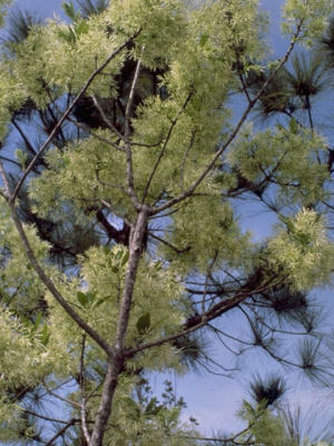 Plant database: Native fringe tree Chionanthus virginicus Story: Top 10 trees to survive hurricanes Photo: Paul Cox, Lady Bird Johnson Wildflower Center