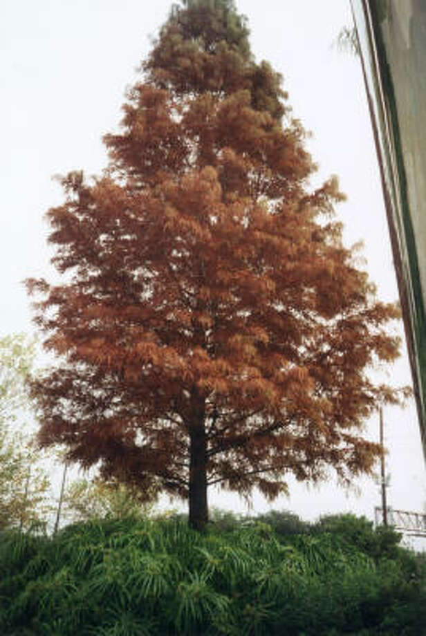 Plant database: Bald cypress Taxodium distichum Story: Top 10 trees to survive hurricanes Photo: Trees For Houston