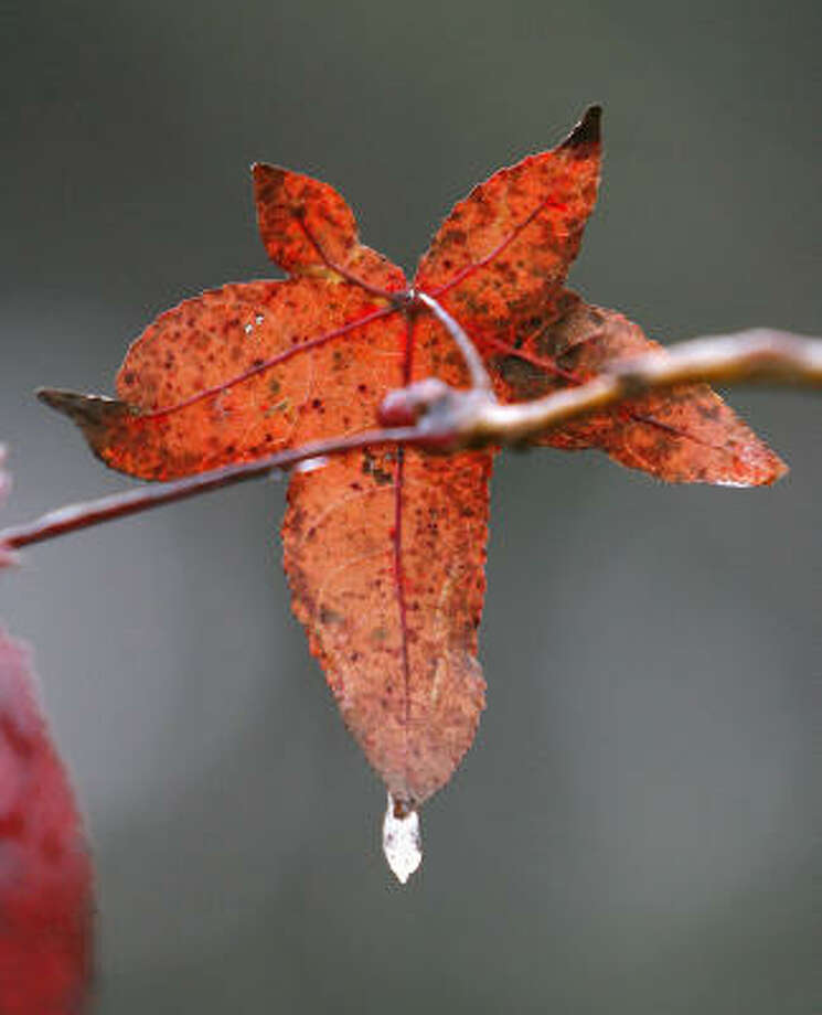 Plant database:  Sweetgum Liquidambar styraciflua Story: Top 10 trees to survive hurricanes Photo: Steve Campbell, Chronicle