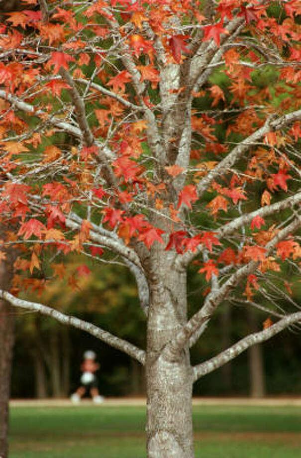 Plant database:  Sweetgum Liquidambar styraciflua Story: Top 10 trees to survive hurricanes Photo: E. JOSEPH DEERING, CHRONICLE