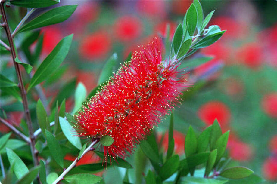 Bottlebrush Photo: John Everett, Chronicle