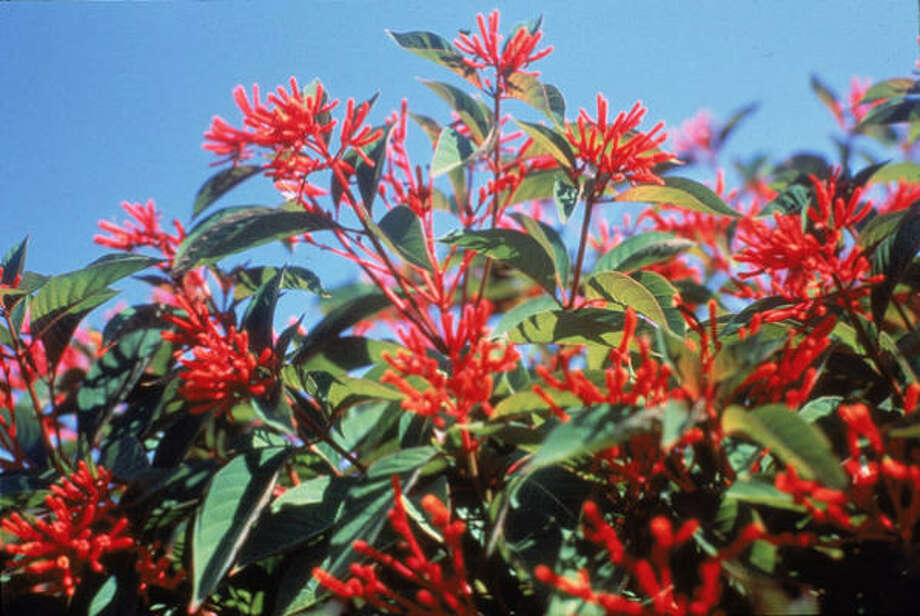The hamelia patens, aka firebush and hummingbird bush, is a low-maintenance gem. Photo: Steven George, For The Chronicle