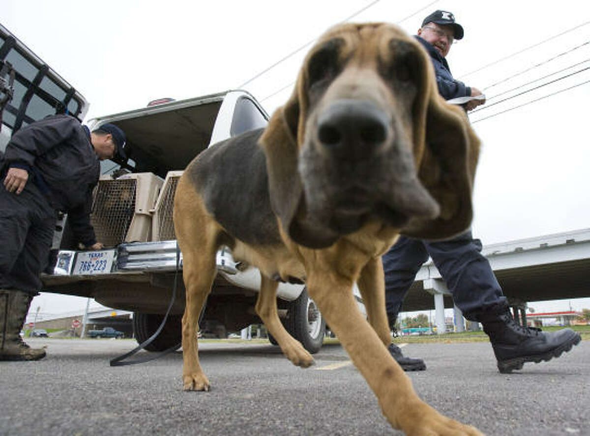 Dixie the bloodhound works with Texas Department of Criminal Justice K-9 officer David Welch.