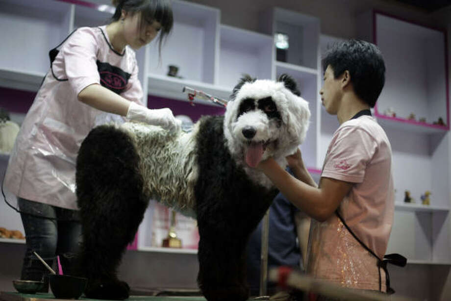 "Kung Fu, a 10-month-old Old English Sheepdog, gets dyed to look like the lead Panda character in the animated film ""Kung Fu Panda"" by workers at the Ruowen Pet Spa in Beijing. Photo: Ng Han Guan, AP"