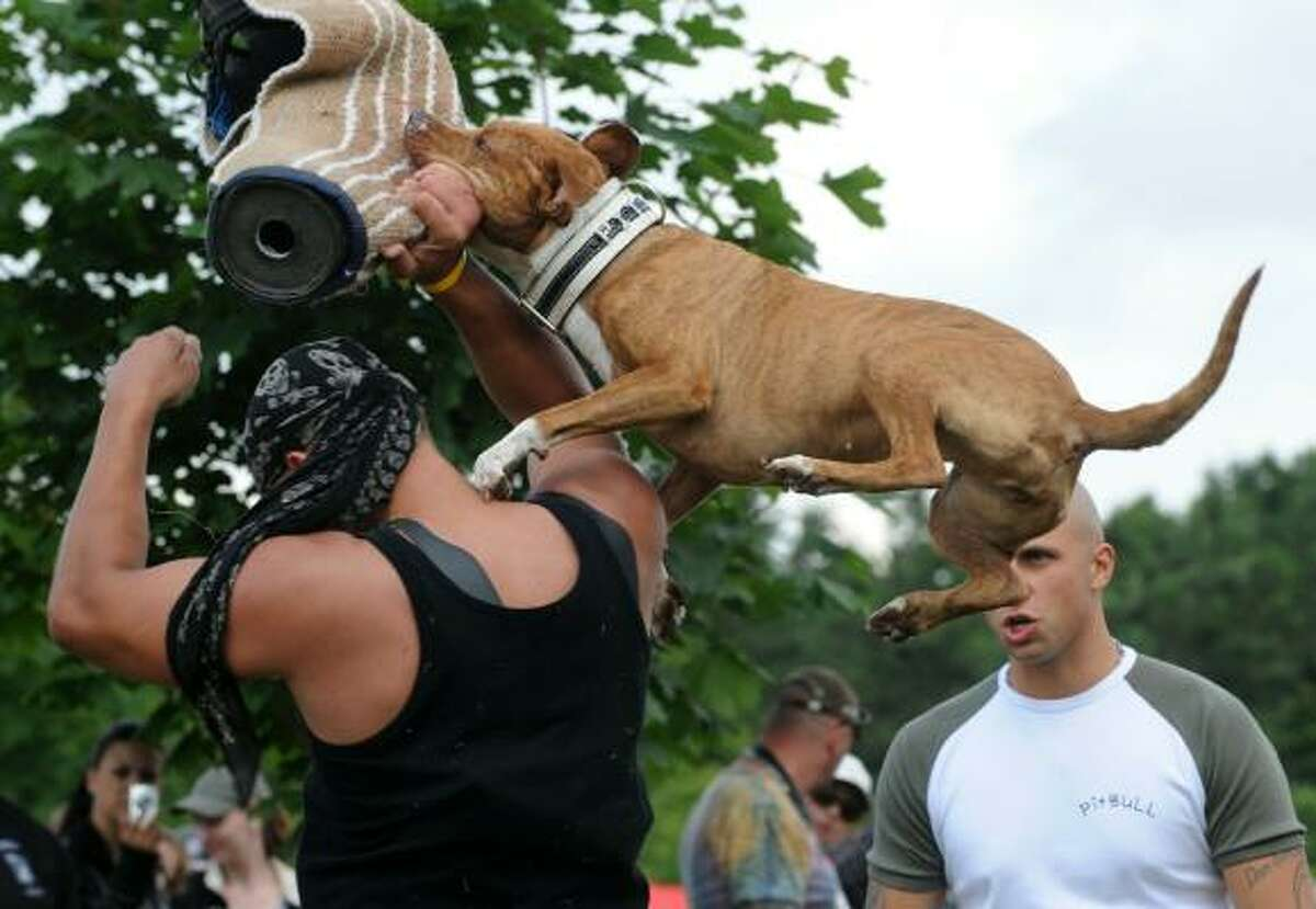 A man watches his pit bull dog during the defense demonstration at a Prague pit bull show June 19.