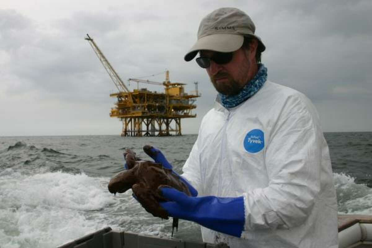 Researcher Blair Witherington pulls oiled Kemp's Ridley turtles from the Gulf of Mexico, not far from the site of the Deepwater Horizon disaster.