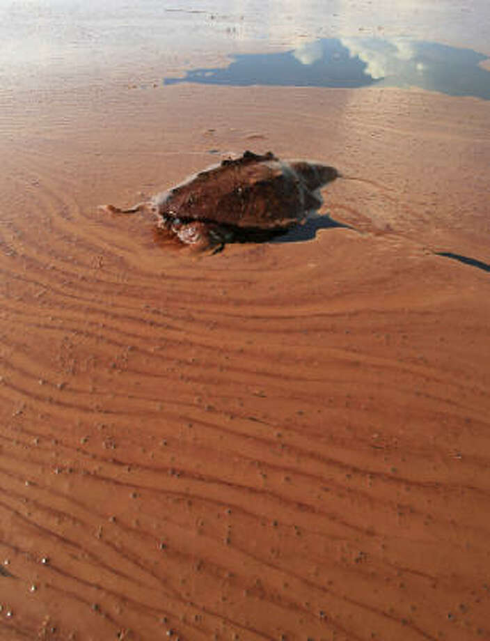 In this June 7, 2010 photo, a dead turtle floats on a pool of oil from the Deepwater Horizon spill in Barataria Bay off the coast of Louisiana. Photo: Charlie Riedel, AP