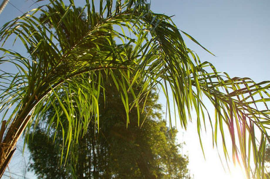 Queen palm Photo: Mccheek, Flickr.com