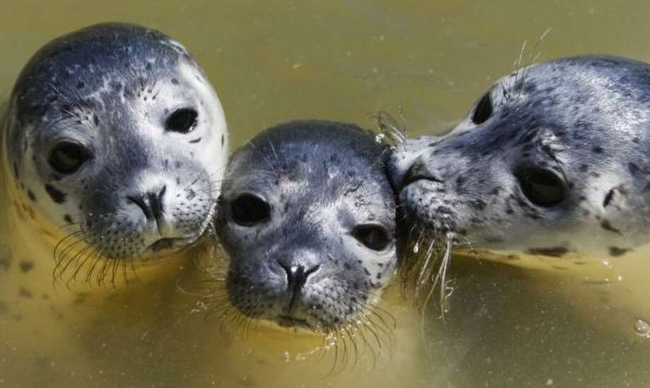 Seal pups enjoy the pool at the common seal station in Friedrichskoog near the North Sea, northern Germany, June 16. The seal pups left by their mother animals by any reason grow up here before being released to their natural habitat. Photo: Heribert Proepper, AP