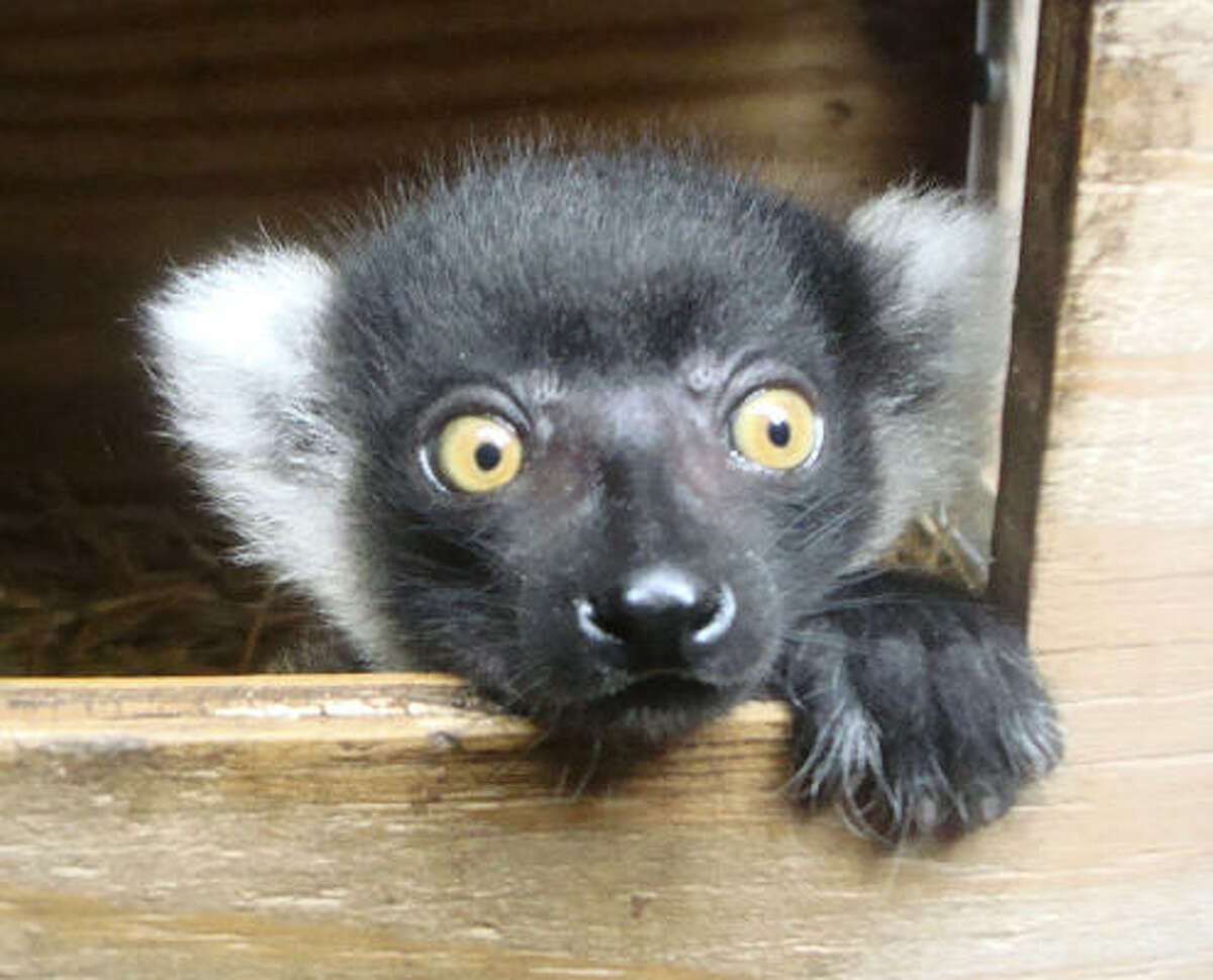 Kintana, a female ruffed lemur born May 8, is a member of an endangered species of primates found in Madagascar. Kintana went on public display June 10 at the Detroit Zoo in Royal Oak, Mich.