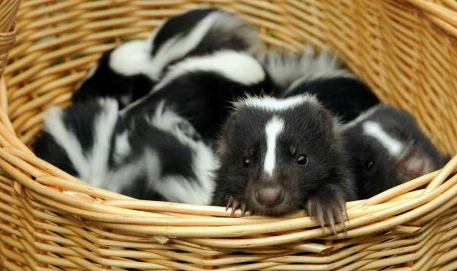 The College Station-area woman was trying to kill a skunk in her yard. Photo: BARBARA SAX, AFP/Getty Images