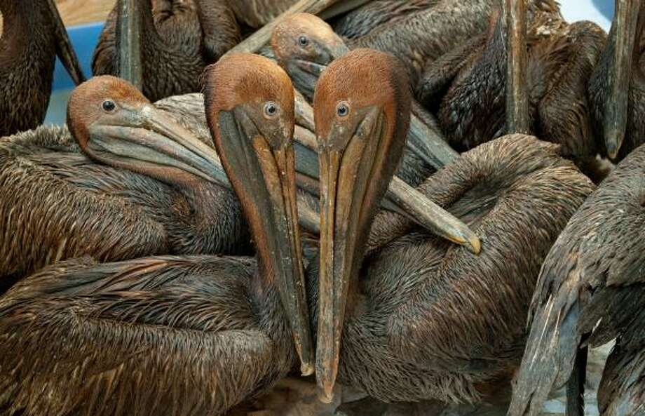 Oil covered brown pelicans found off the Louisiana coast and affected by the BP Deepwater Horizon oil spill in the Gulf of Mexico wait in a holding pen for cleaning at the Fort Jackson Oiled Wildlife Rehabilitation Center in Buras, Louisiana, June 9, 2010. AFP PHOTO / Saul LOEB (Photo credit should read SAUL LOEB/AFP/Getty Images) Photo: SAUL LOEB, AFP/Getty Images