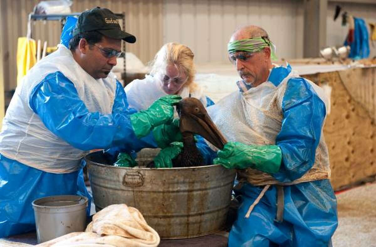 Volunteers clean an oil covered brown pelican found off the Louisiana coast and affected by the BP Deepwater Horizon oil spill in the Gulf of Mexico at the Fort Jackson Oiled Wildlife Rehabilitation Center in Buras, Louisiana, June 9, 2010. AFP PHOTO / Saul LOEB (Photo credit should read SAUL LOEB/AFP/Getty Images)