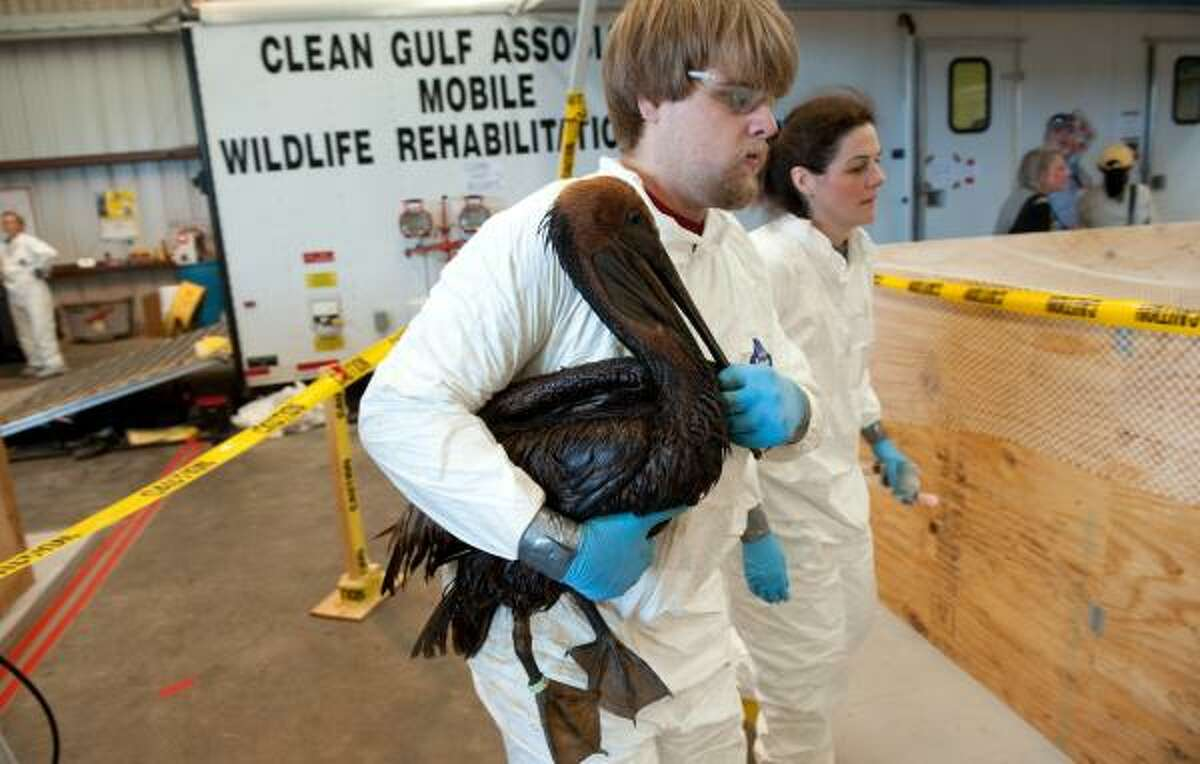 A volunteer carries an oil covered brown pelican found off the Louisiana coast and affected by the BP Deepwater Horizon oil spill in the Gulf of Mexico to a holding pen to await cleaning at the Fort Jackson Oiled Wildlife Rehabilitation Center in Buras, Louisiana, June 9, 2010. AFP PHOTO / Saul LOEB (Photo credit should read SAUL LOEB/AFP/Getty Images)