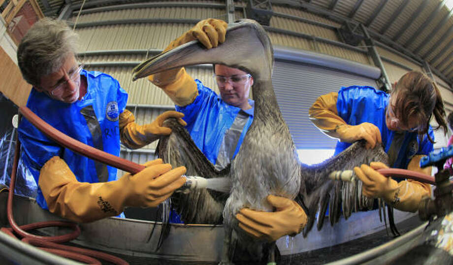 ** CORRECTS LAST NAME OF HEATHER NEVILL ** Erica Miller, left, Heather Nevill, center and Danene Birtell clean a Brown Pelican Saturday, May 15, 2010 at the Fort Jackson Wildlife Rehabilitation Center at Buras, La. The bird was rescued after being exposed an oil spill in the Gulf of Mexico caused by the explosion of BP's Deepwater Horizon oil platform more than three weeks ago. Photo: Charlie Riedel, AP