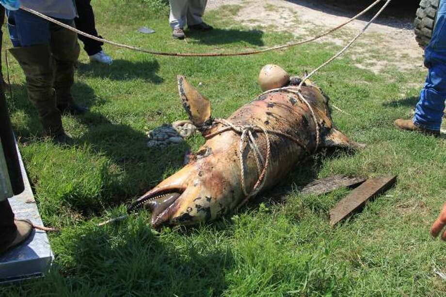 In this May, 23, 2010 photo provided by the Plaquemines Parish, La. Government, a dead oil-covered dolphin lies on the ground in Venice, La. The dolphin was spotted on May 22 during a fly-over of the southwest area of the Mississippi River by U.S. Fish and Wildlife officials. Photo: AP