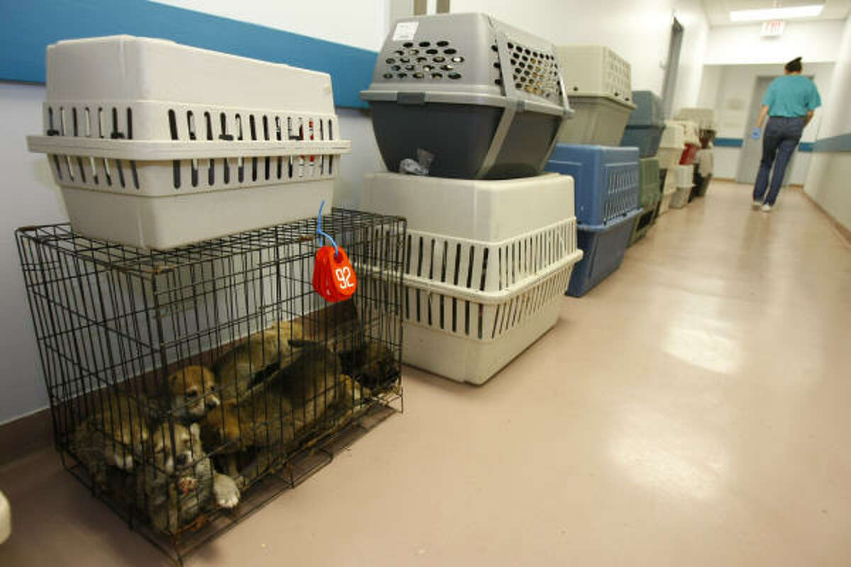 A wire kennel of mixed puppies are some of the161 dogs that were brought into the Houston SPCA. The dogs are getting evaluated, standard shots then wait for a court date to determine their fate.