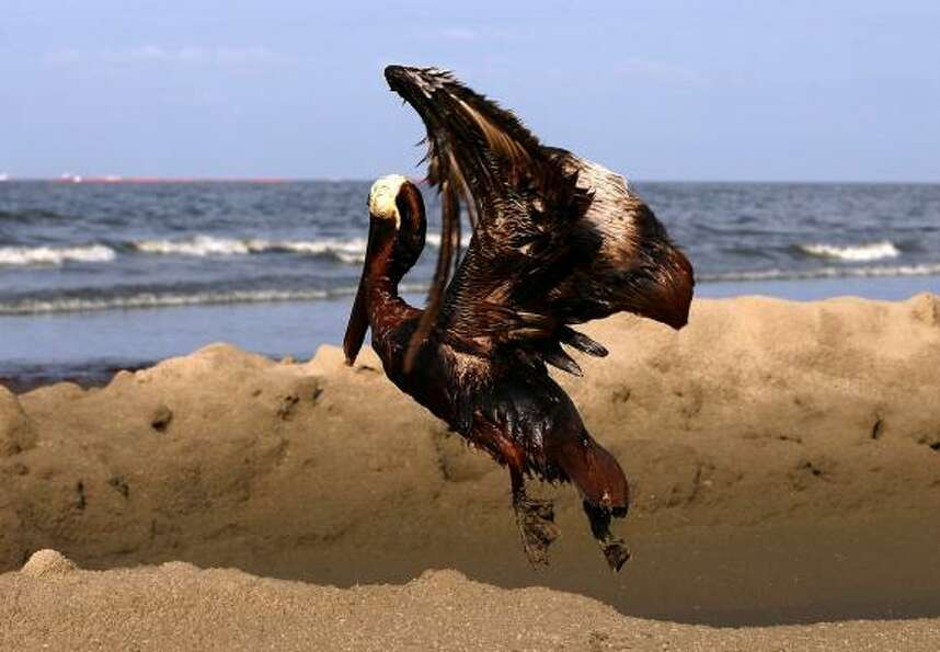 A brown pelican coated in oil tries to take flight on East Grand Terre Island, La.