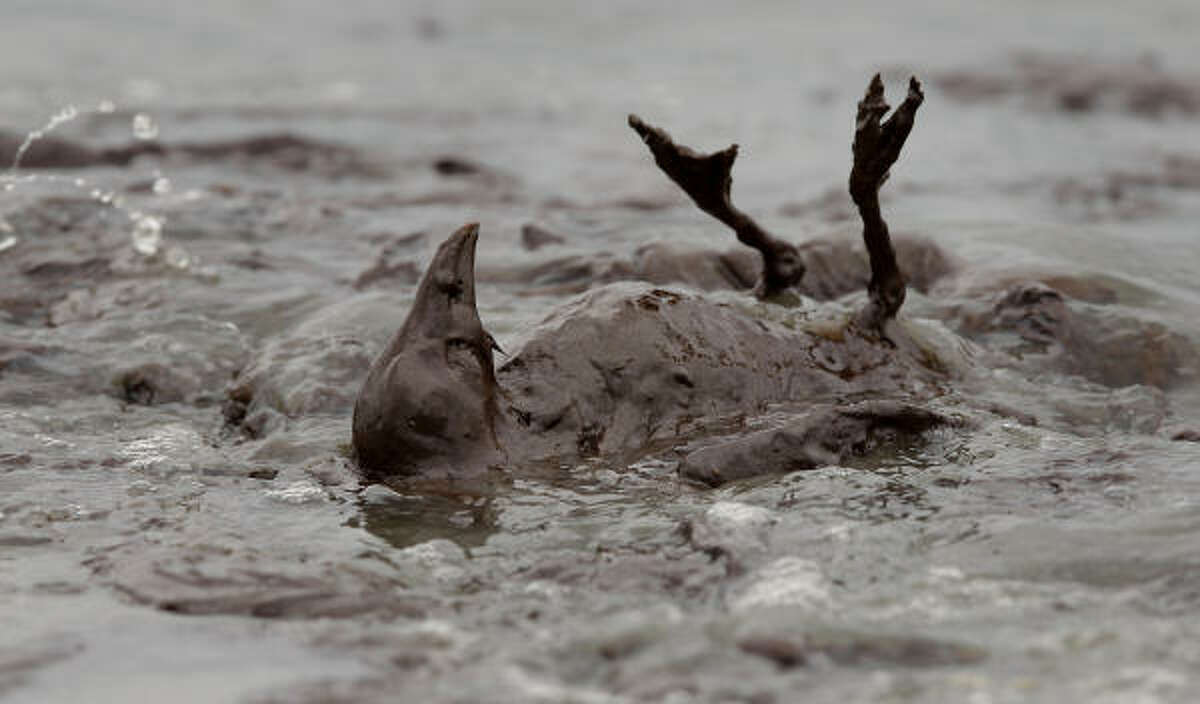 A bird covered in oil flails in the surf at East Grand Terre Island along the Louisiana coast Thursday, June 3, 2010. Oil from the Deepwater Horizon has affected wildlife throughout the Gulf of Mexico.