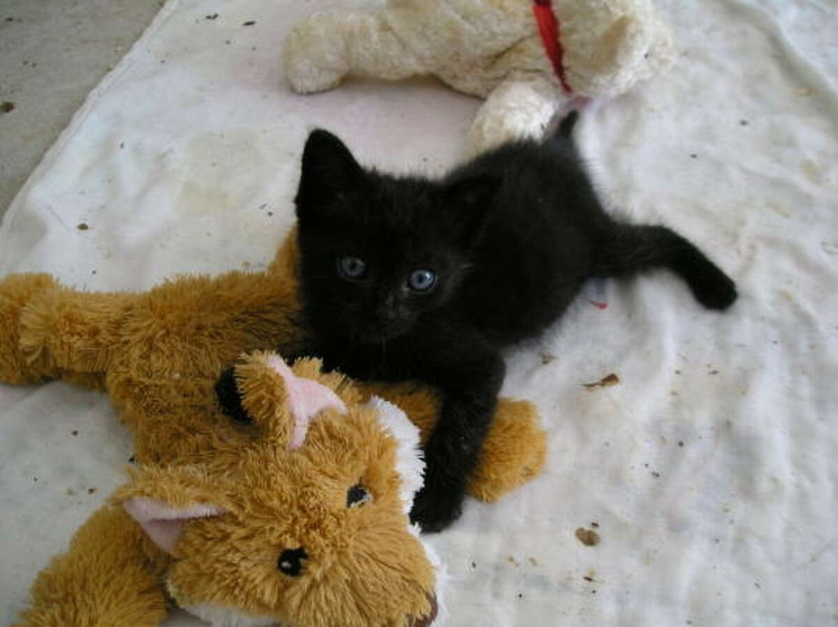 Black kitten with stuffed comforters at Montgomery County Animal Shelter.